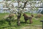 Irma unde äppelträdet 20 maj-2007