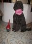 Miro har tagit examen som Terapihund december 2010