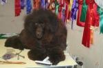 Zottie väntar på att få tofsar i håret 20061103
