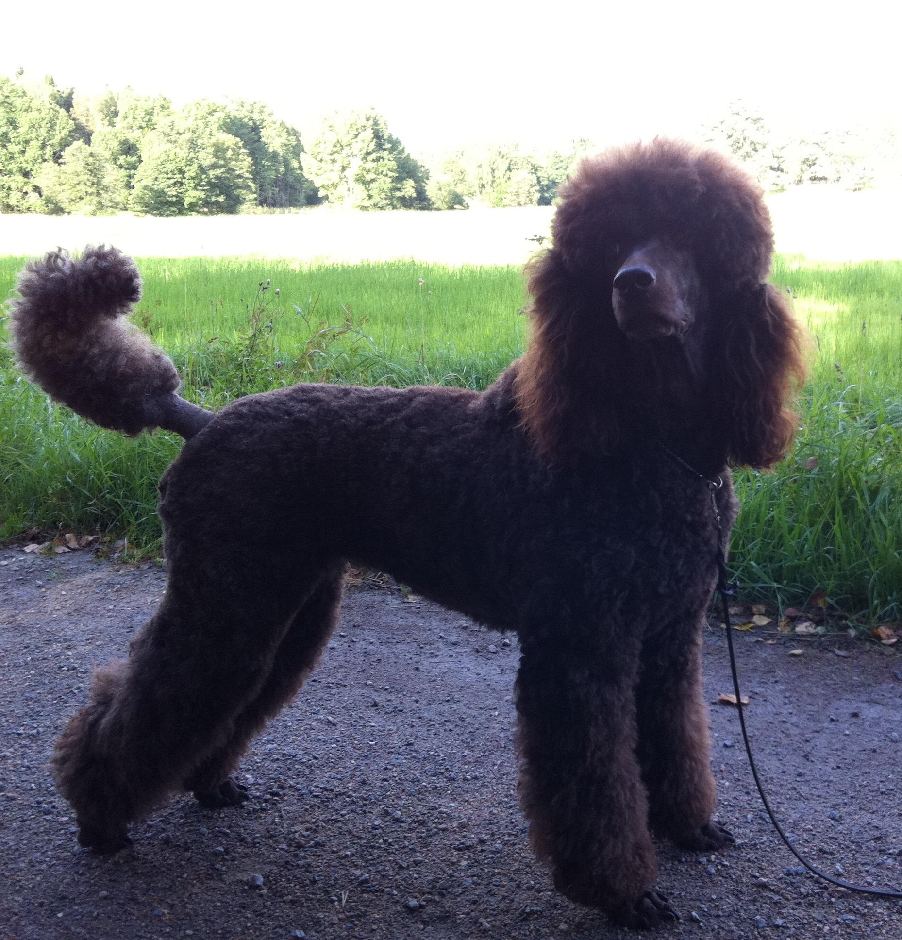 Frihamras Curly Sue