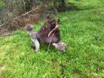 Nelson har tränat viltspår och blev lycklig när han hittade klövern