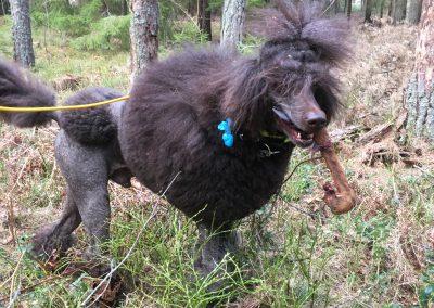 Teddy tränade viltspår 010