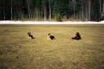 Zottie tränar platsliggande med ett par kompisar